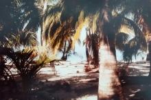 roatan palms