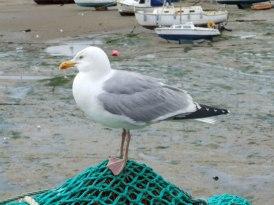 Seagull,_Folkestone_Harbour_-_geograph.org.uk_-_1412723