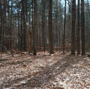 Tree-tap-Yaddo-woods-sml-300x296